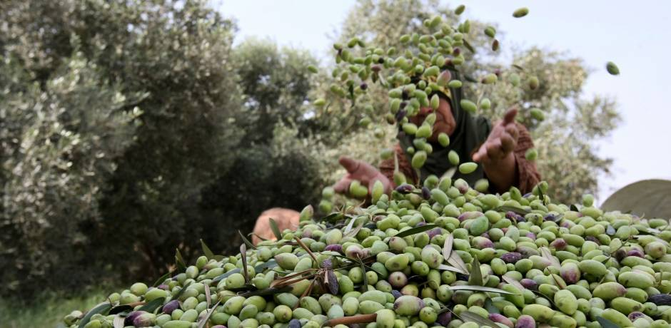 إنتاج الزيتون .. زيادة قدرها 6 ر41 بالمائة مقارنة بمتوسط الإنتاج في السنوات الخمس الماضية