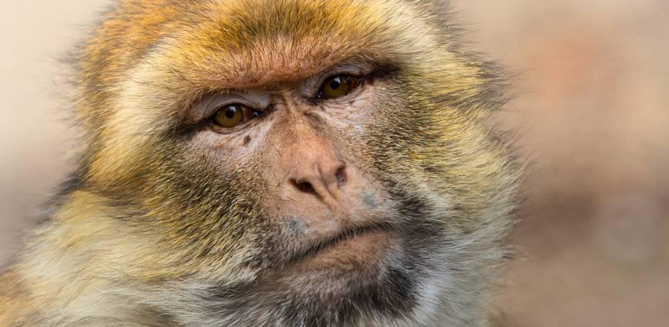 القرود تؤرق الحكومة الهندية قبل انتخابات صعبة