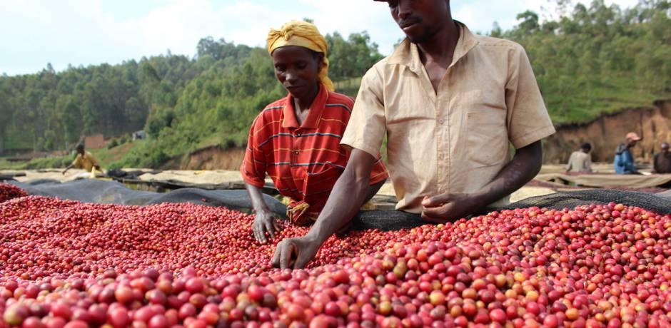 بوروندي تعتزم تصدير 22 ألف طن من القهوة سنة 2019
