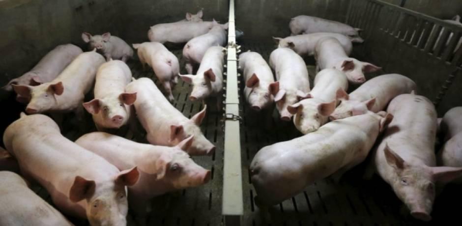 الصين .. الإعلان عن تفش جديد لحمى الخنازير الافريقية