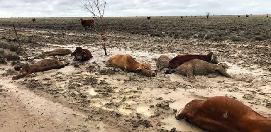 نفوق حوالي 300 ألف رأس من البقر جراء سيول غير مسبوقة بأستراليا